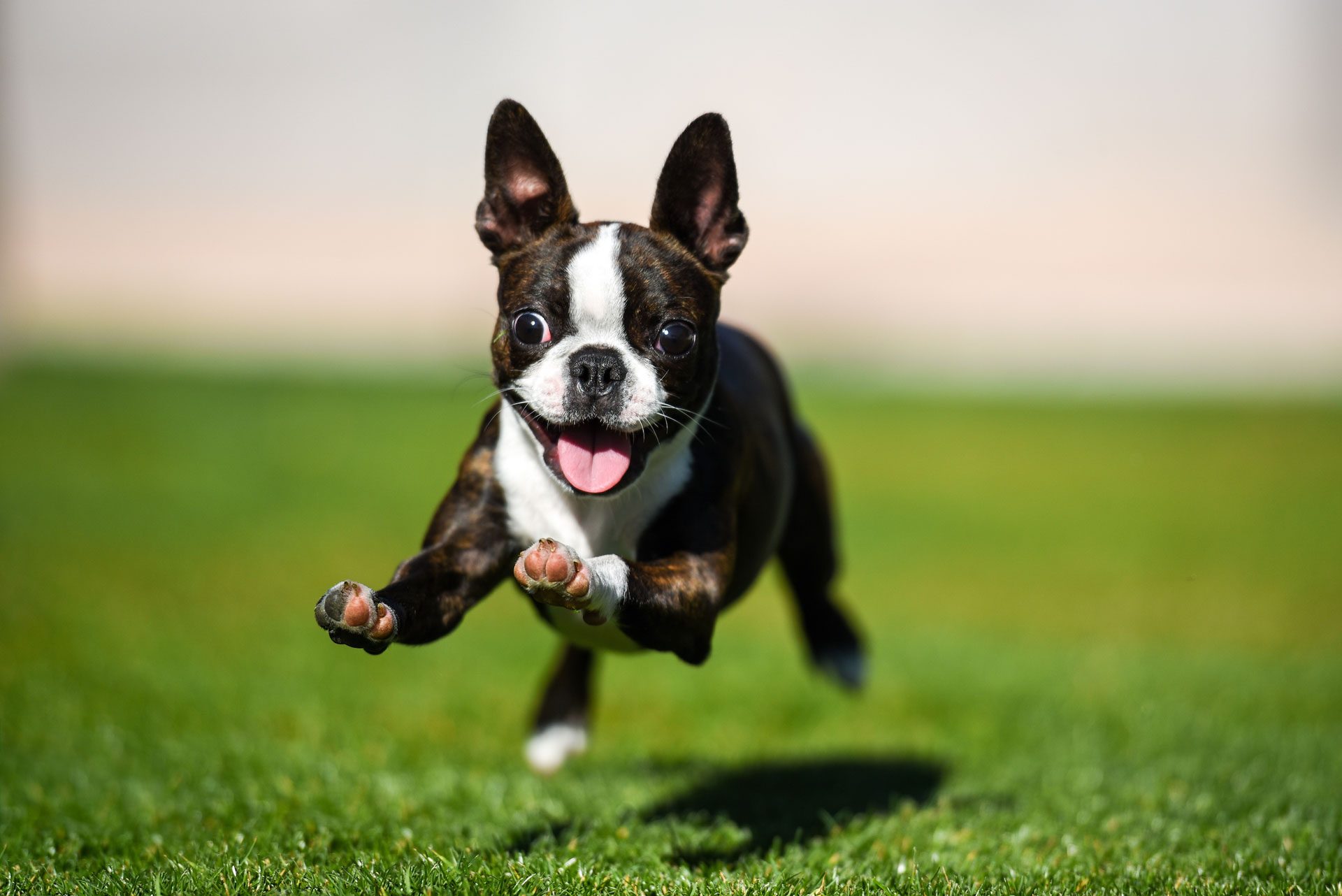Happy dog running on grass after taking Clomipramine Hydrochloride Tablets