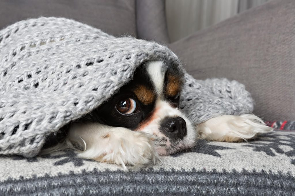 Anxious Dog Scared Under Blanket
