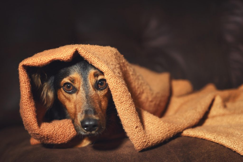 Anxious Dog with Separation Anxiety Under Blanket