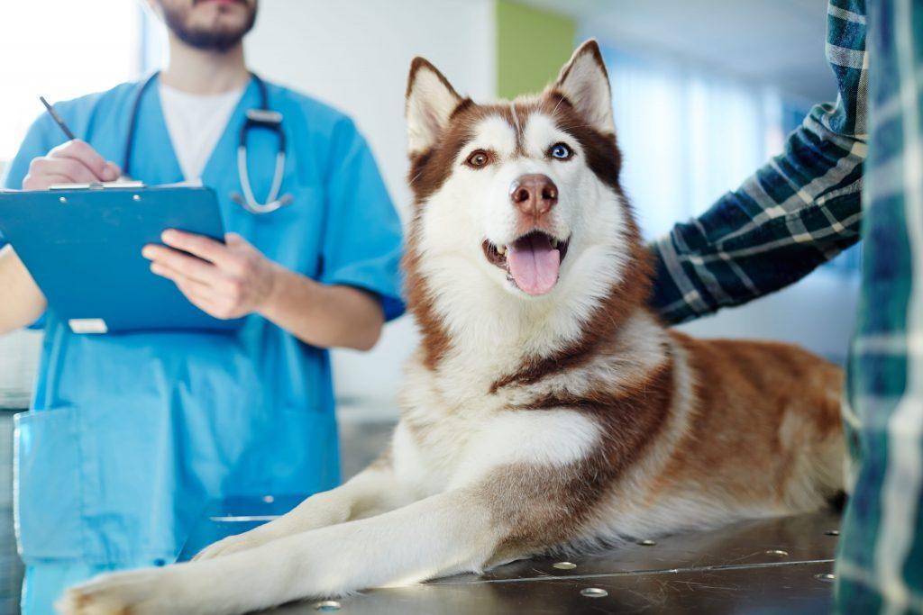 Husky Taking Generic Dog Medications at Vet