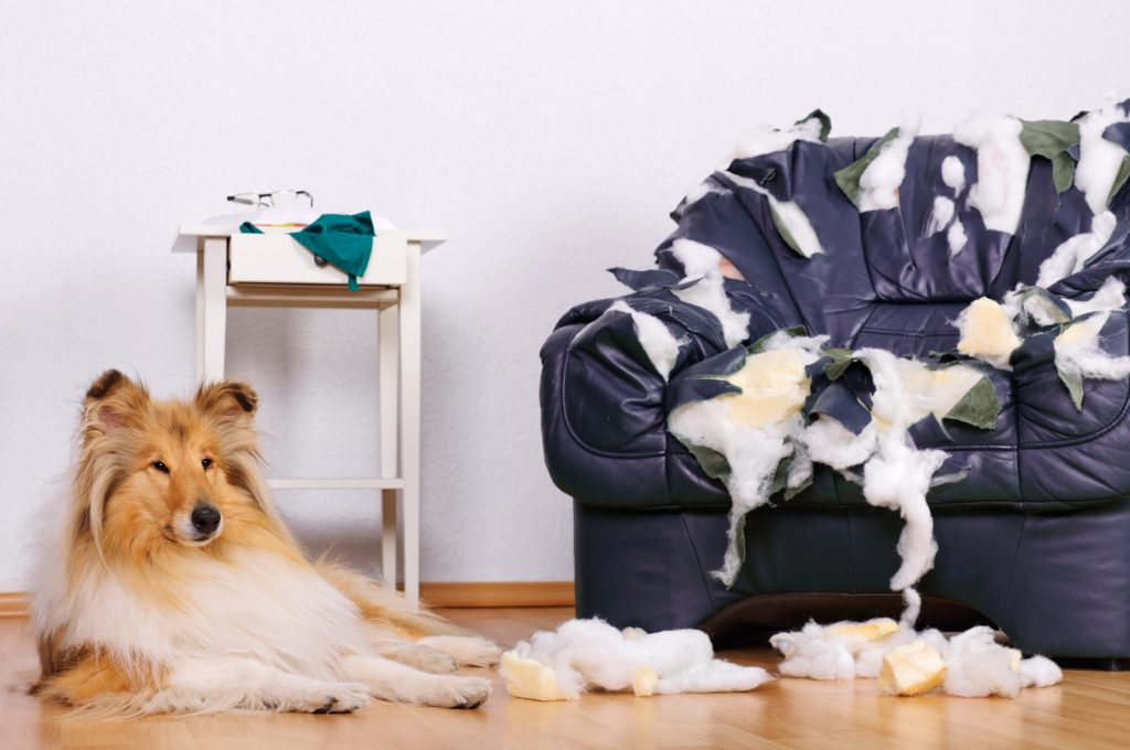 Couch Chewed by Anxious Dog with Separation Anxiety