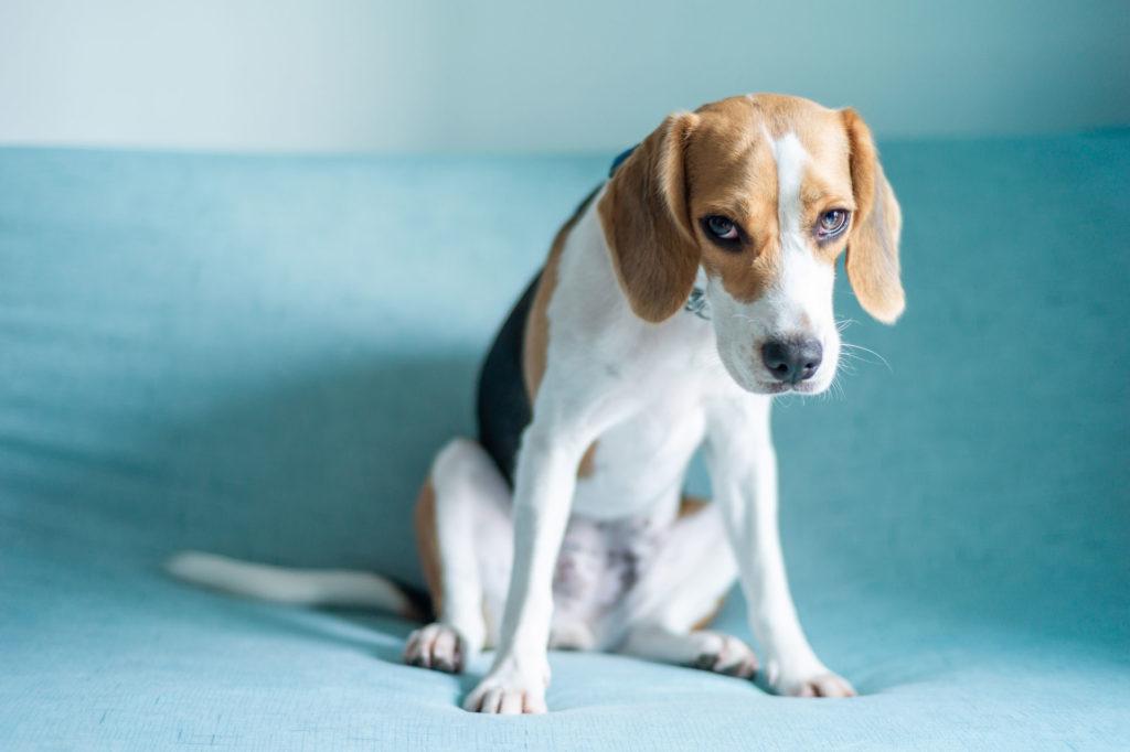 sad beagle with depression anxiety