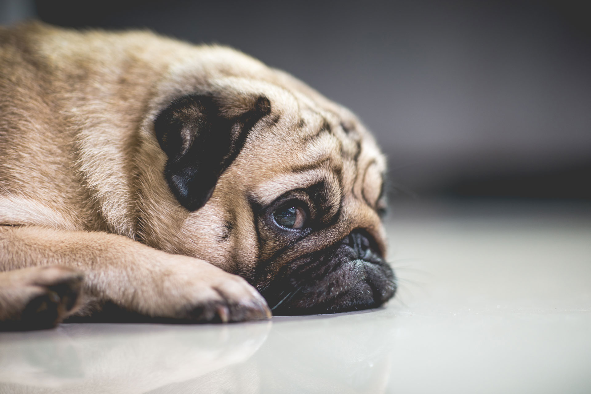 sad pug with depression anxiety on the floor